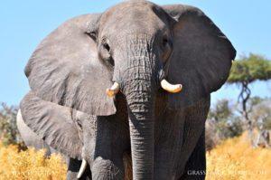 Elephant Moremi Botswana Safari