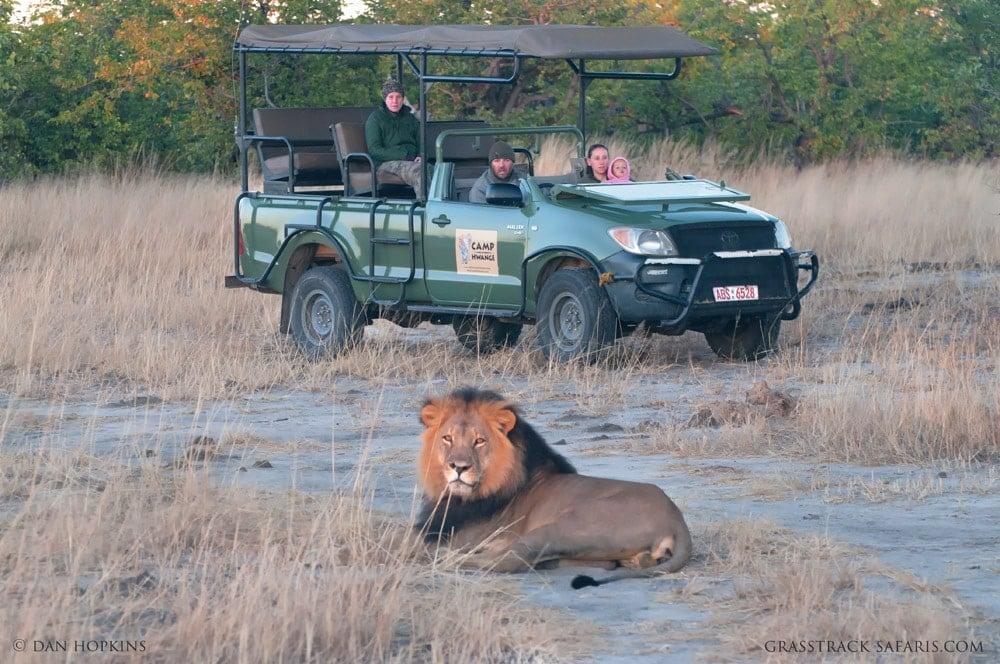 Camp Hwange Lion