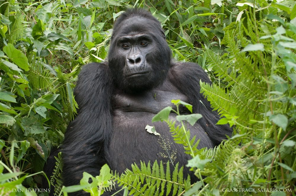 uganda mountain gorilla safari