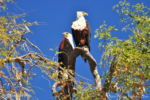 bald eagle safaris