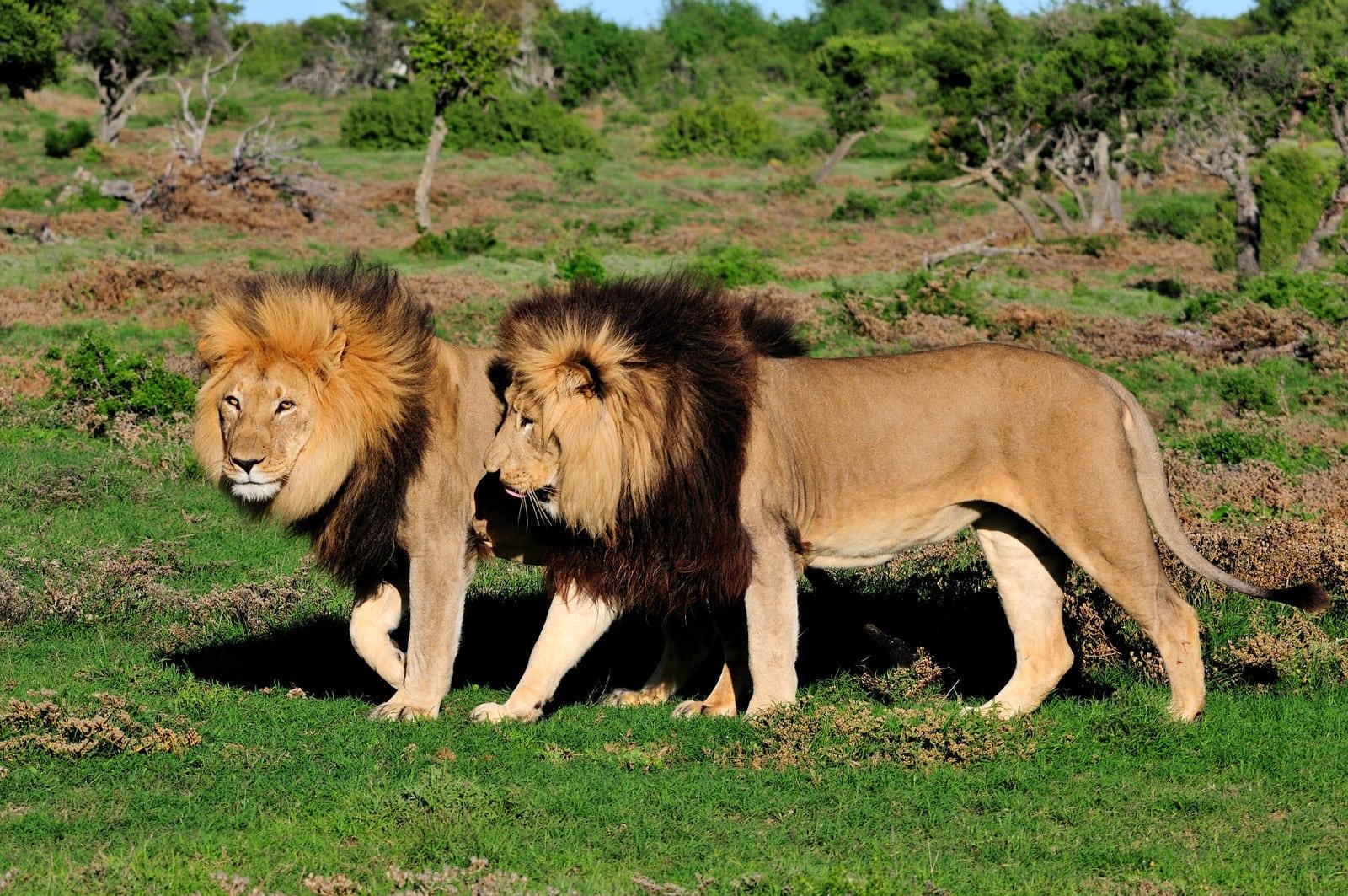 african lion safari adventure fun
