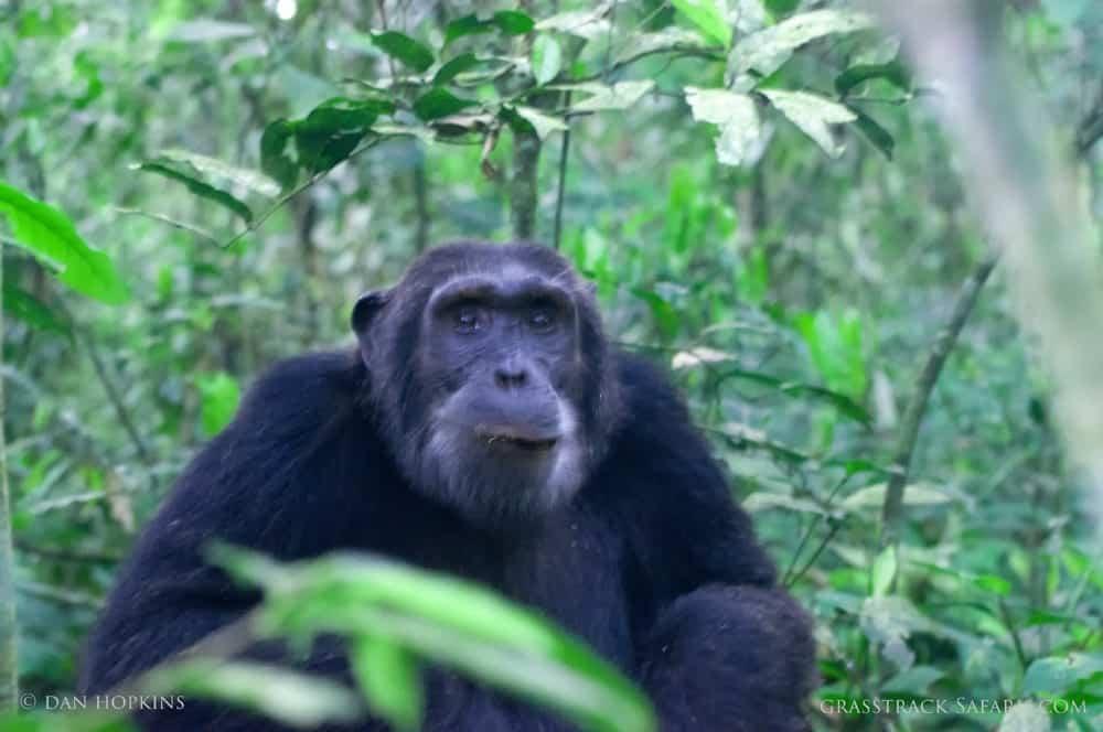 chimp trekking uganda
