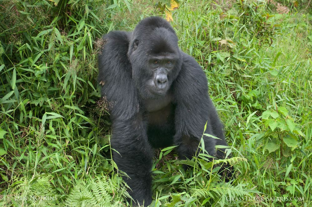uganda mountain gorilla 2