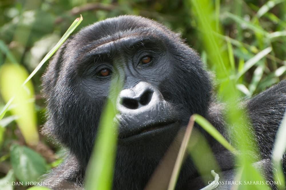 uganda mountain gorilla 1