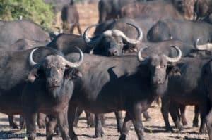buffalo safari