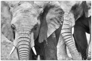 Elephants, Moremi