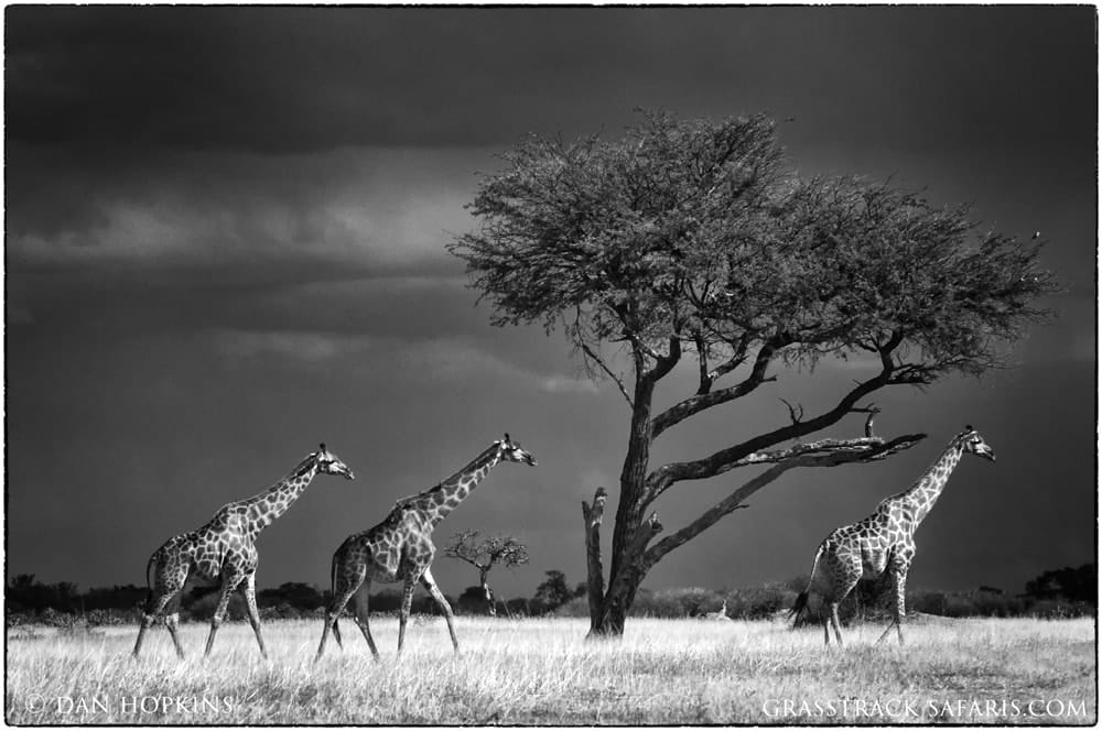 Hwange Giraffes