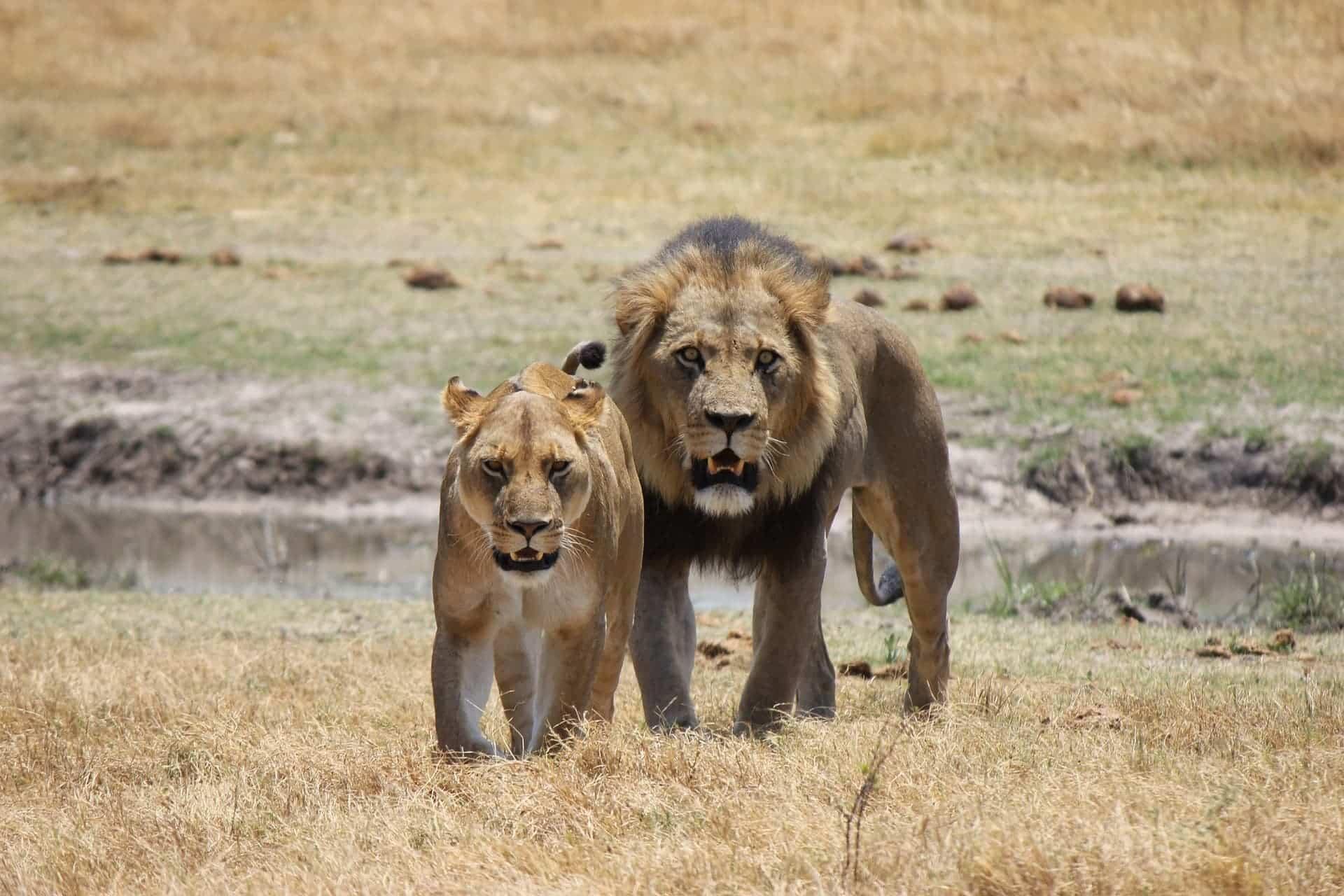 africa lion-1225338_1920