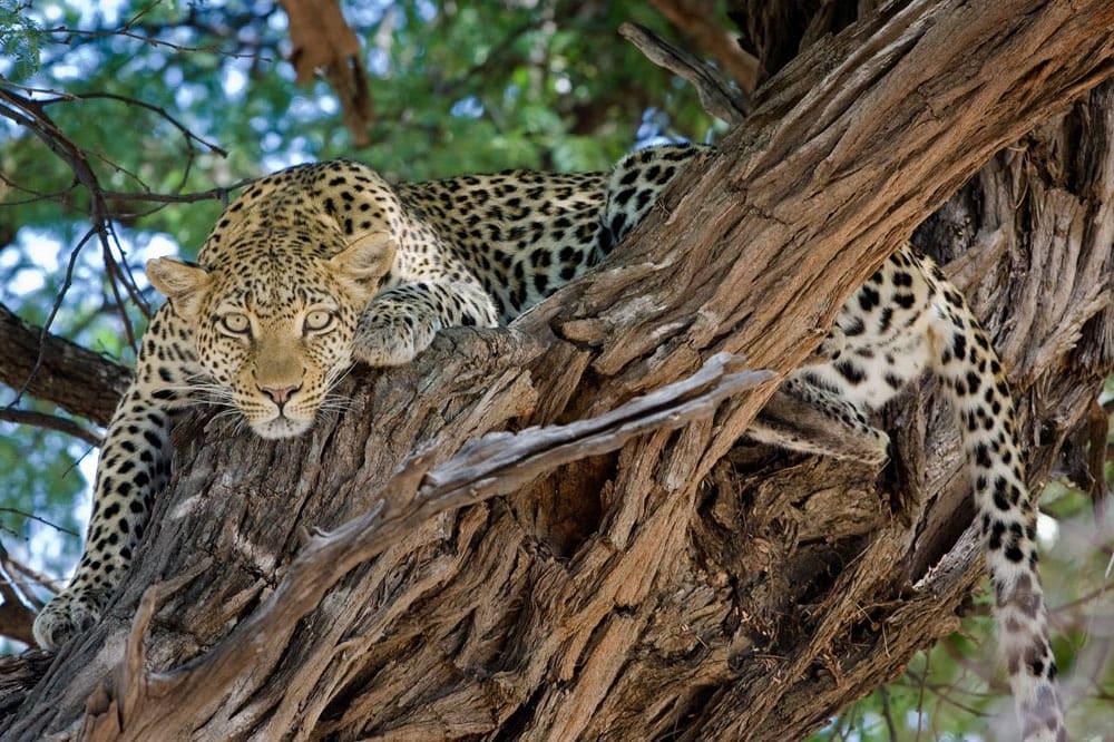 Leopard oka exped
