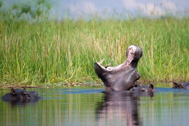 Hippo, Moremi Game Reserve