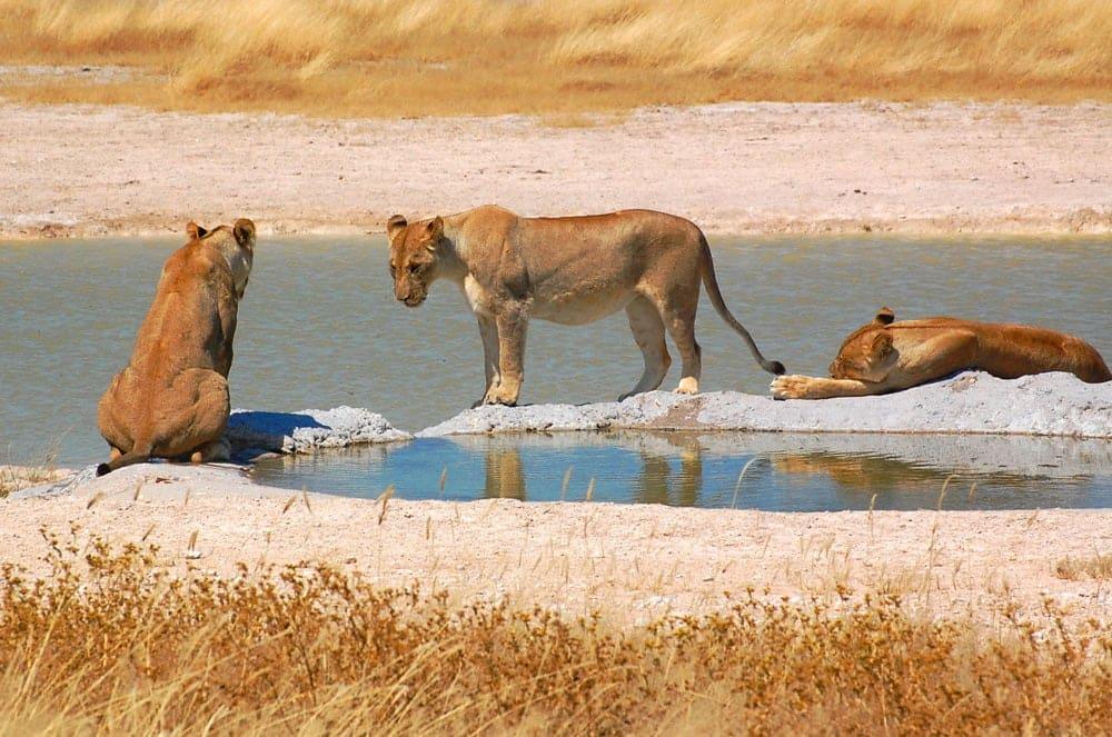 3 lioness @ waterhole