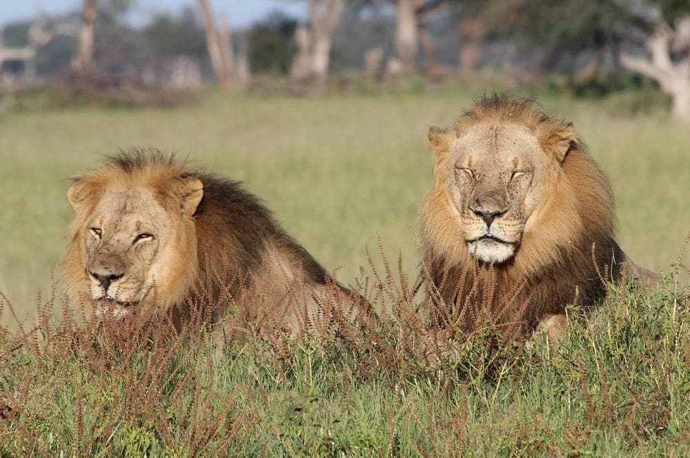 43a. Imvelo Safari Lodges - Bomani Tented Lodge - Male lions on a game drive