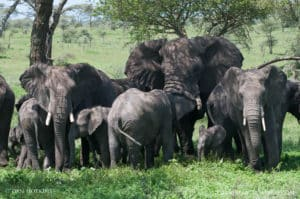 elephants serengeti