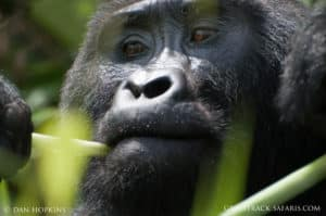 mountain gorilla population