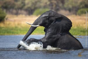 Elephant, Khwai River