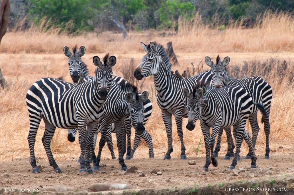 Skittish Zebras at the Waterhole, Mikumi