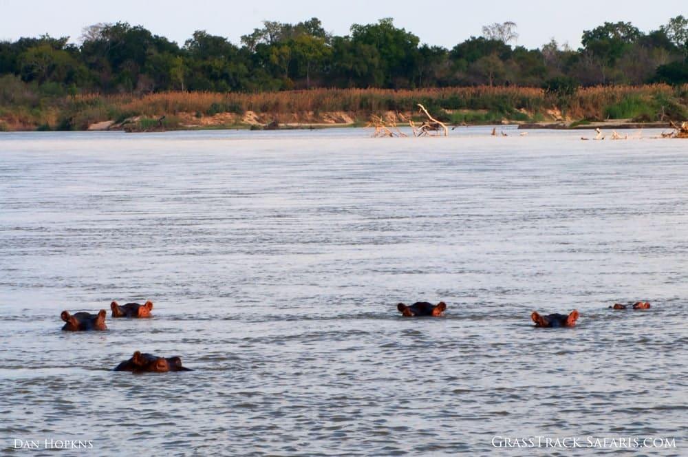 Hippos in the Rufiji