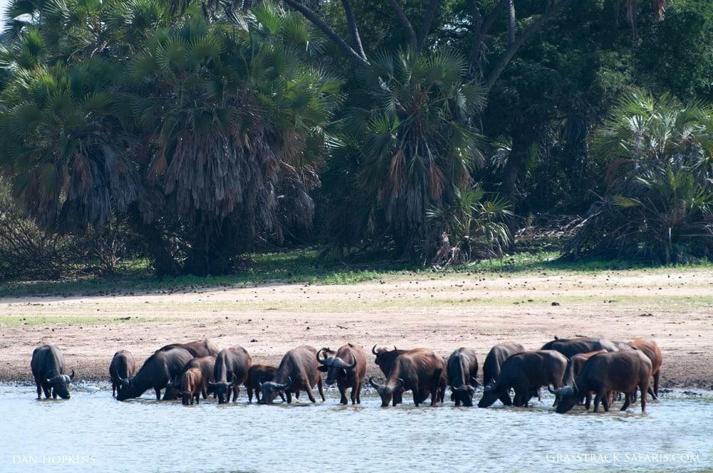 Cape Buffalo, Selous