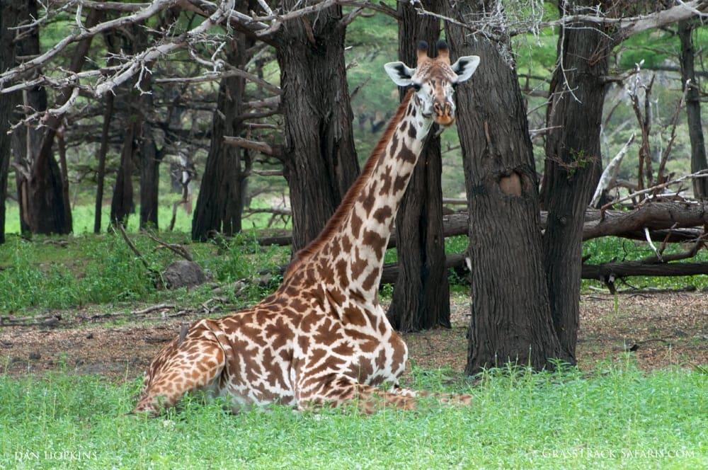 Giraffe Chewing its Cud, Selous