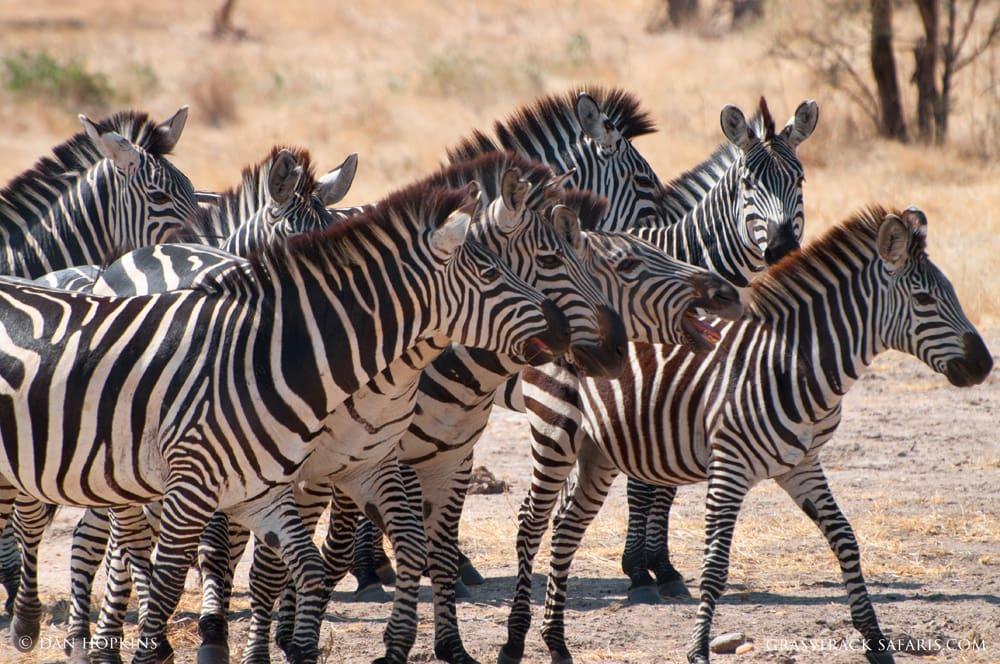 ruaha zebras