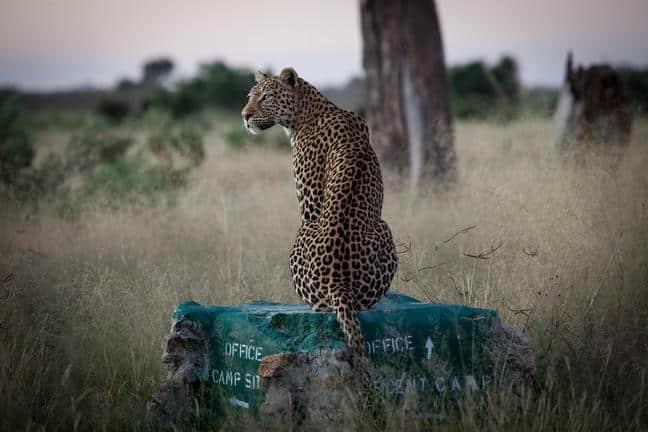 Leopard, Savute