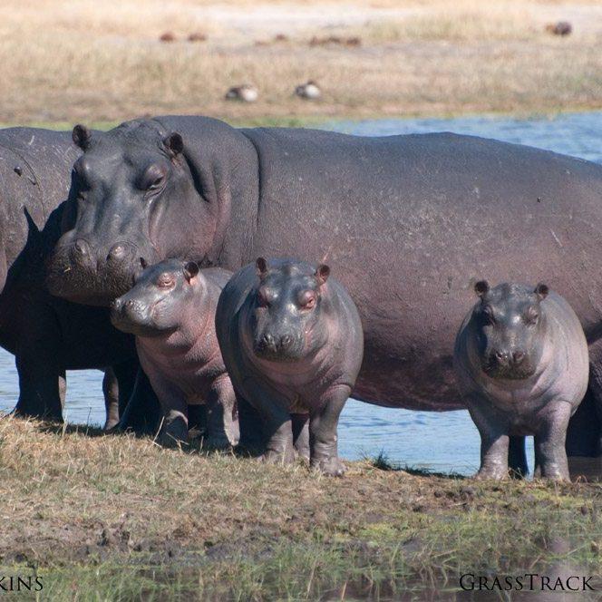 African Safari Hippos