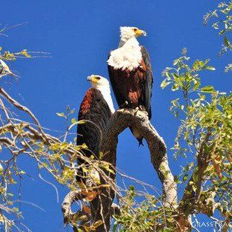 bald eagle safaris