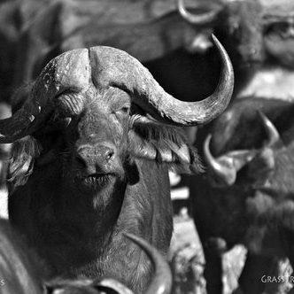 Cape Buffalo, Moremi