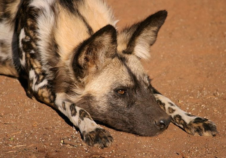 african wild dogs moremi game reserve