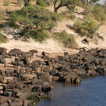 Buffalo Herd, Chobe
