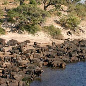 Buffalo Herd, Chobe