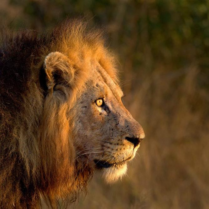 sunway_south_africa_kruger_lion_rob_l_20140729_1071476097